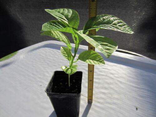 """2 Pots GIANT GRANADILLA 14/"""" Tall Passiflora Quadrangularis Fruit Grenadilla"""