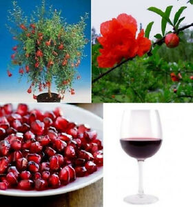 Granatapfel-Baum-Punica-Granatum-Samen-Aussergewoehnliches-besonderes-Geschenk