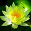 Bonsai Fleurs Victoria Amazonica Giant Water Lily Lotus Jardin 10 Pcs Graines New