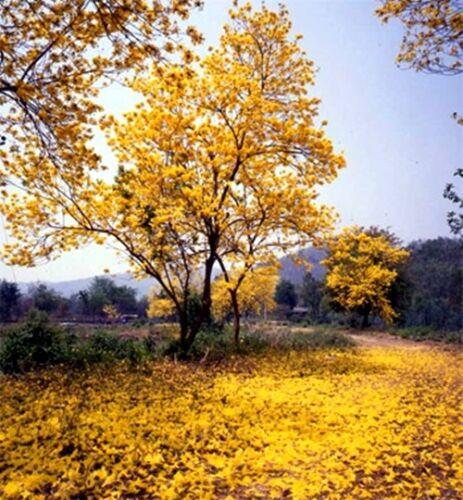 50 graines Tabebuia Chrysotricha Golden Trumpet Tree Jaune Fleur Bloom facile