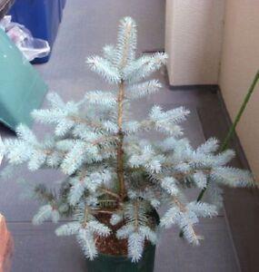 wei e tanne weihnachtsbaum tannenbaum f r weihnachten den advent dekoartikel zu ebay. Black Bedroom Furniture Sets. Home Design Ideas