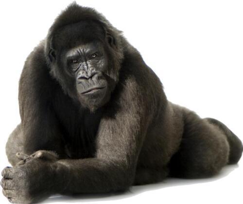 Sticker animal Gorille 120x100cm