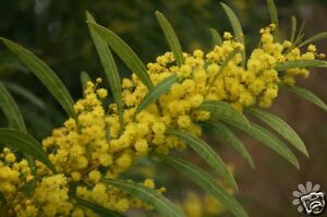 Red Stemmed Wattle 30 Seeds Droughtfrost Tolerant Evergreen