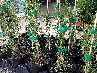 Piante di Goji Nero - Lycium Ruthenicum Murr *Rarissimo*