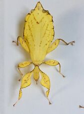Yellow Phyllium Philippinicum Leaf Stick Insect Eggs X 10 PLUS 2 FREE