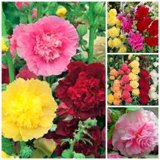 Flowers Hollyhock Charters Double mix 30 cottage garden flower seeds perennial