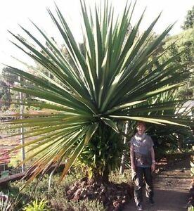 yucca aloif palme f r drinnen hoch wachsende gro e zimmerpflanze immergr n deko ebay. Black Bedroom Furniture Sets. Home Design Ideas