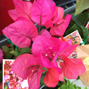 Miss manilla bougainvillea orange pink flowers climbing plant in image is loading miss manilla bougainvillea orange pink flowers climbing plant mightylinksfo