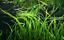 thumbnail 3 - x3 Cryptocoryne Balansae Bunch Crypt Spiralis Freshwater Live Aquarium Plants