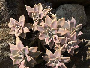 Echeveria-Urbinia-Sukkulente-Kaktus-Kakteen-rar-10-Ableger-Blaetter