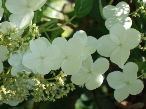 Hydrangea anomala petiolaris CLIMBING HYDRANGEA Seeds!