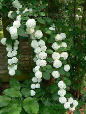 100pcs/bag Climbing Hydrangea Seeds Hydrangea Flowers seed Bonsai plant Viburnu
