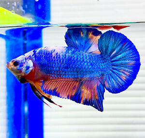 "US SELLER (A-Grade) Male Blue Marble 3"" Giant Betta imported from Thailand"