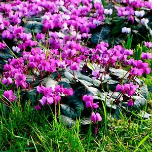 Cyclamen-Bulbs-034-Coum-034-Red-Pink-Spring-Flowering-Garden-Perennial-Flowers