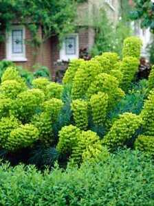 10 Mediterranean Spurge Euphorbia Unique Perennial Plant