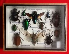 REAL EXOTIC HUGH 12 INSECT DISPLAY TAXIDERMY ENTOMOLOGY DUNG BEETLE INSECTS