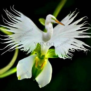 100-PCS-Seeds-Japanese-Radiata-Plants-White-Egret-Orchid-Bonsai-Flowers-Garden-N