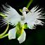 100-PCS-Seeds-Japanese-Radiata-Plants-White-Egret-Orchid-Bonsai-Flowers-Garden-N thumbnail 1
