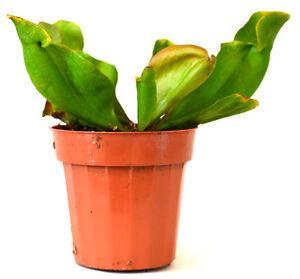 Large-Pitcher-Plant-Sarracenia-Carnivorous-Gift-Mature-Holiday-3-034-Pot-Nice