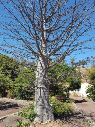 Adansonia Digitata 10 Seeds The Tree More Wide the Baobab World