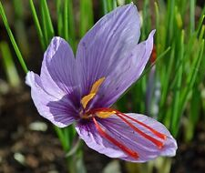 20 bulbs, Fall Blooming SAFFRON CROCUS Sativus; Non-Chinese; SHIPS AUGUST 2017