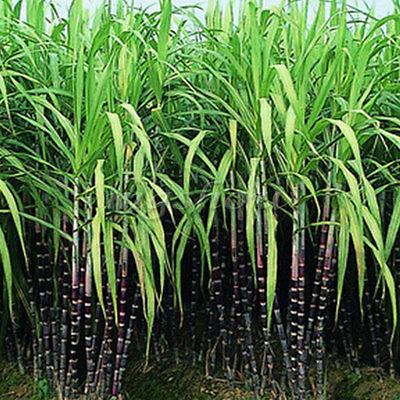 100X Black Sugar Cane Seeds Seed Rum Syrup Rock Candy Sugar Crystals