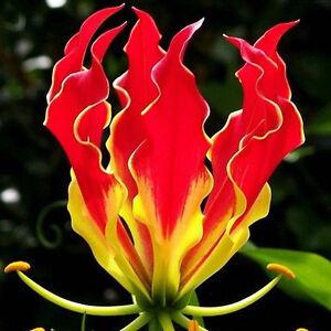 50-X-Seltene-Garland-Flamme-Lilium-brownii-BluMenamen-Blumen-Lilie-Samen-20-R3Q2