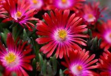 Delosperma sp. RUBY STARS ICE PLANT Hardy Exotic SEEDS!