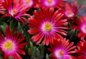 Delosperma-sp-RUBY-STARS-ICE-PLANT-Hardy-Exotic-SEEDS