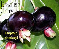 BRAZILIAN CHERRY Live plant