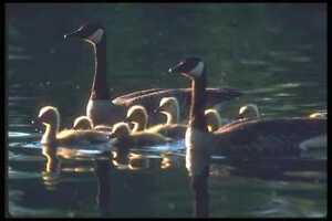 094056-Canada-Goose-Family-A4-Photo-Print