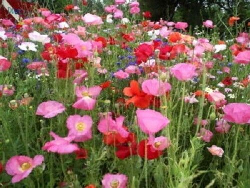 2000 MIXED SHIRLEY POPPY Flanders Corn Papaver Rhoeas Color Mix Red Pink Seeds