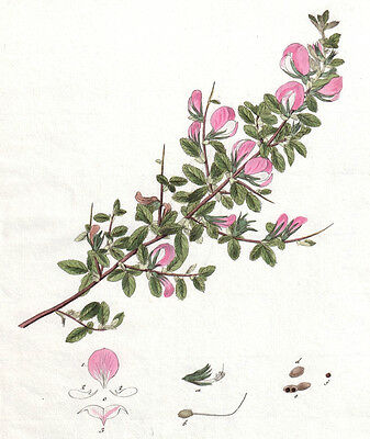 1820's RESTHARROW vintage original painted etching botanical print