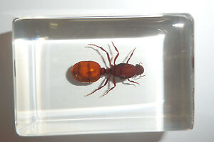 Big-Black-Ant-Camponotus-japonicas-in-clear-Block-Education-Insect-Specimen