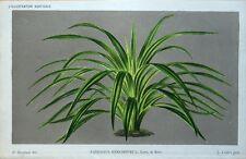 PANDANUS KERCHOVEI Linden Stroobant Original Antique Botanical  Print 1886