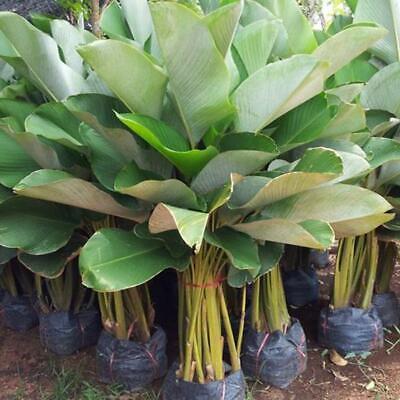 1 RHIZOME Calathea lutea VERY RARE PLANT ซิกก้า NEW!