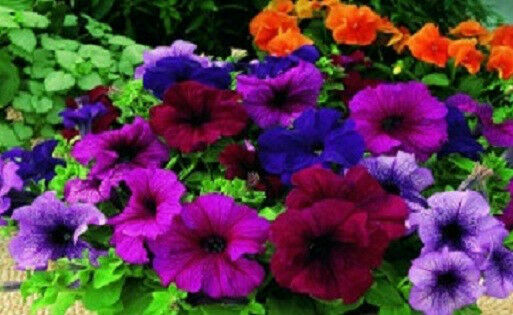 50 Pelleted Candypops Vein Mix Pelleted Petunia Seeds Garden Starts CANDY POPS