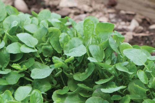 HERB Creasy Greens   200 Heirloom seed.....FREE Shipping