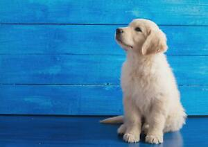 A1-Retriever-Puppy-Wall-Art-Poster-Print-60x90cm-180gsm-Canine-Lovers-Gift-15837