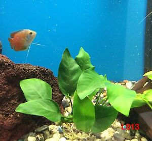 "Exotic Live Fresh Water Aquatic Plant Anubias barteri 'broad leaf"" Loose L013"