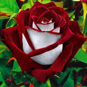 100x-Schoene-Rot-Weiss-Osiria-Rubin-Rose-Blumen-Samen-Heim-Garten-Pflanze
