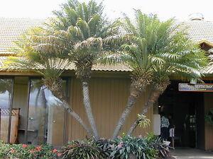 10-Semillas-Palmera-Enana-PHOENIX-ROEBELENII-Bonsai-Jardin-Samen-Semi