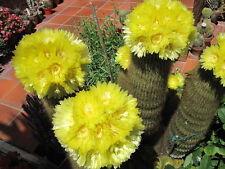 Notocactus leninighausii - The Golden Ball Cactus - 25 Fresh Seeds