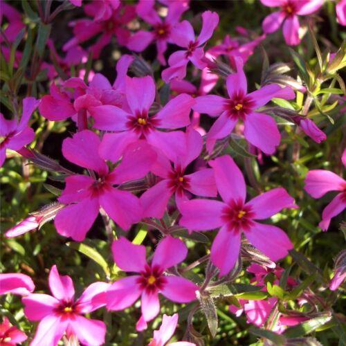 Phlox subulata SCARLET FLAME 1x Staude Pflanzen Polsterphlox