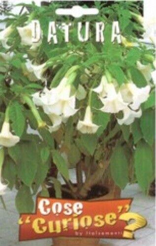 semi brugmansia bianca