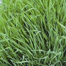 Kings Seeds - Green Manure - Rye Grazing - pack for 6 sq.m