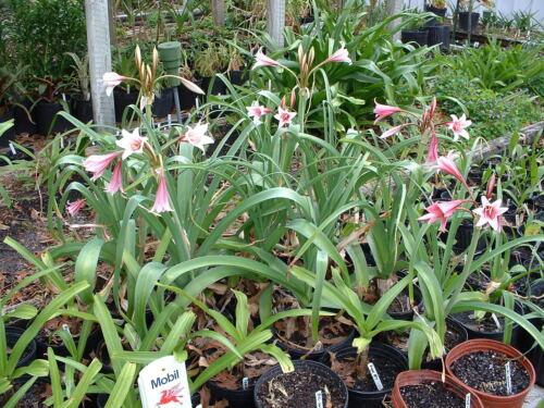 blooming-size bulb Crinum Lily Bulbispermum  /'Chessmaster/' large