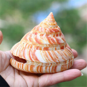 Emperor-039-s-Slit-Shell-5-10-cm-Seashells-Shells-Aquarium-Fish-Tank-Ornament-Decors
