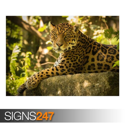 3795 CHINCHA THE JAGUAR Animal Photo Picture Poster Print Art A0 A1 A2 A3 A4