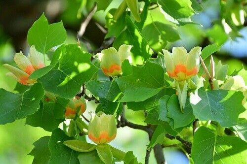 Tulip Tree 2-3/'